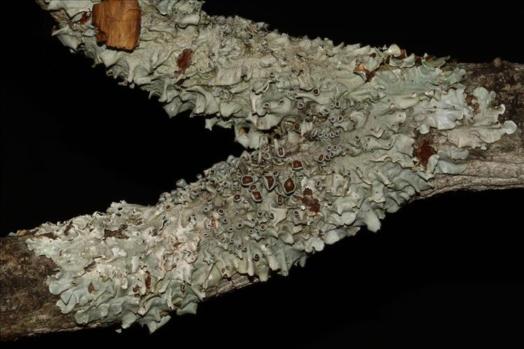 Parmotrema mesotropum from Brazil From Mato Grosso do Sul State, Campo Grande (A.A. Spielmann 8486)