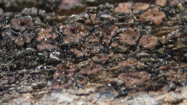 Acarospora fuscata from Taiwan (ABL)