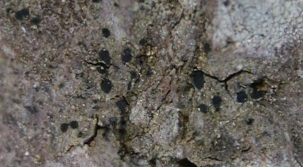 Amandinea polyspora from Taiwan (ABL)