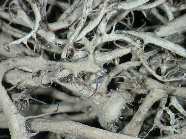 Anaptychia kaspica from NE Pakistan leg. S.Iqbal 260; herb. LAH