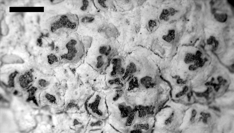 Angiactis bermudensis from Bermuda Specimen: LaGreca 1544 (BM)