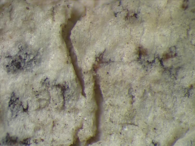 Arthonia caribaea from Netherlands Antilles, Saba Habitus. leg. Sipman  54778. Image width = 4 mm.