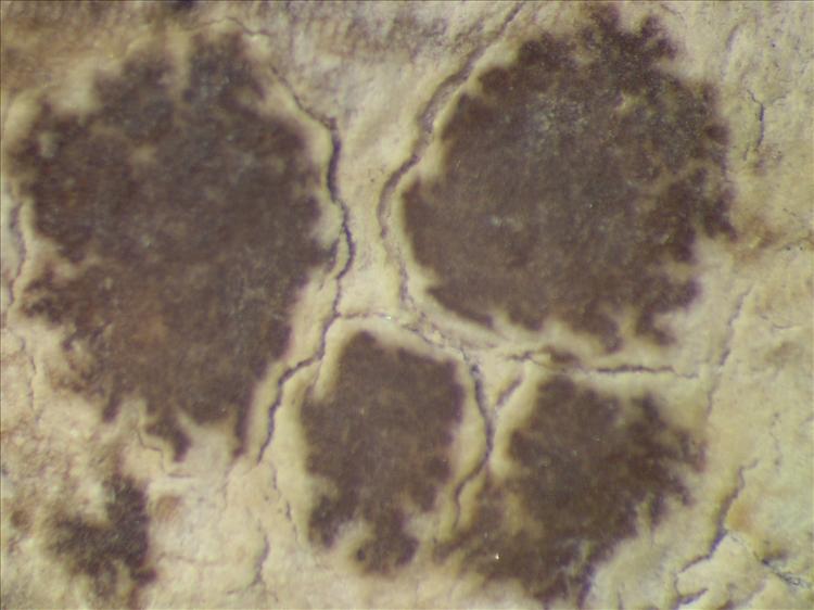 Arthonia conferta image