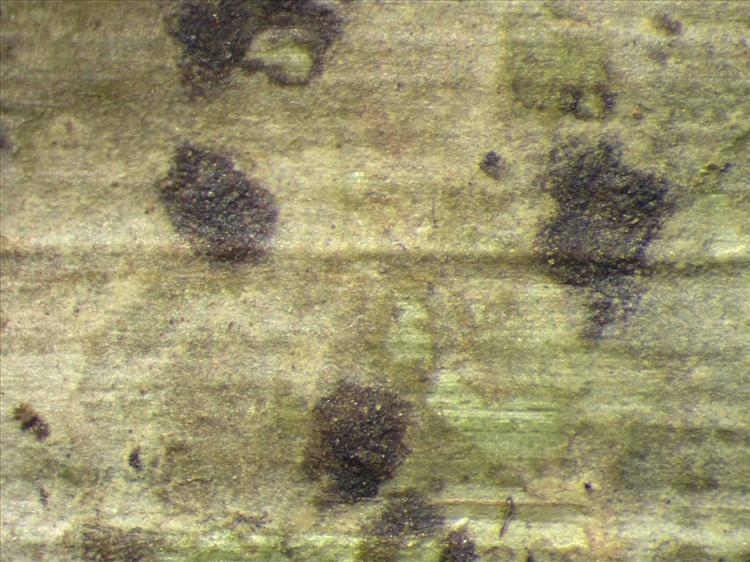 Arthonia trilocularis from Singapore Habitus. leg. Sipman 46169. Image width = 4 mm.