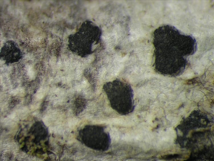 Arthothelium macrothecum from Netherlands Antilles, Saba Habitus. leg. B. Buck 50768. Image width = 4 mm.