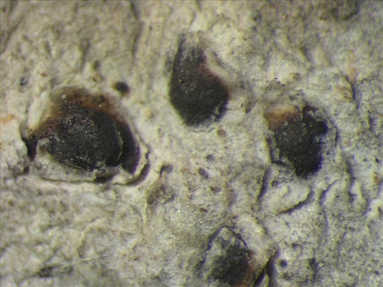 Arthothelium macrothecum from Netherlands Antilles, Saba Habitus. leg. Sipman  54730. Image width = 4 mm.
