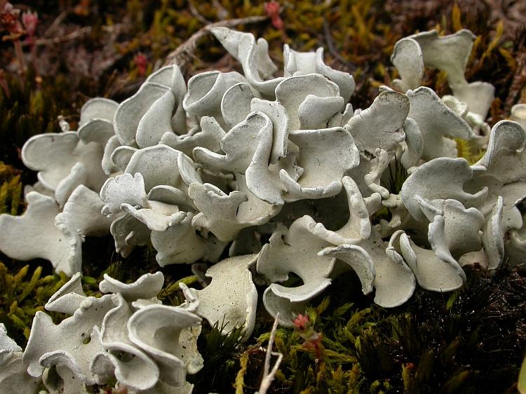 Siphula decumbens from Australia