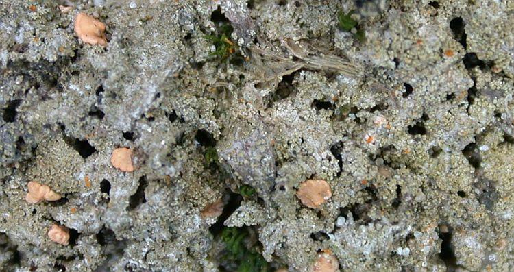 Bacidina arnoldiana image