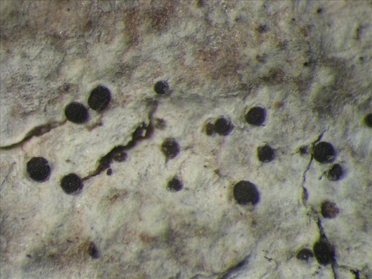 Bactrospora jenikii from Netherlands Antilles, Saba Habitus. leg. B. Buck 50806. Image width = 4 mm.