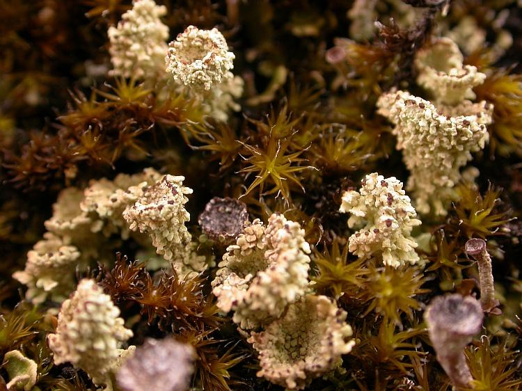 Cladonia coccifera from Bhutan