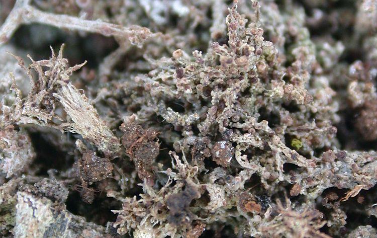 Bilimbia sabuletorum from China, Yunnan (ABL)