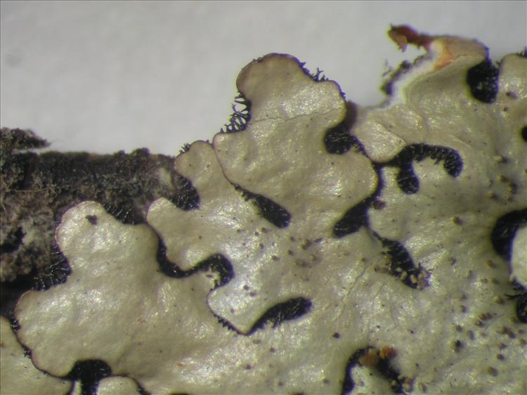 Bulbothrix goebelii from Netherlands Antilles, Sint  Eustatius Habitus. leg. Sipman  14844. Image width = 4 mm.