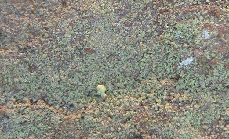 Chaenotheca furfuracea from Taiwan (ABL)