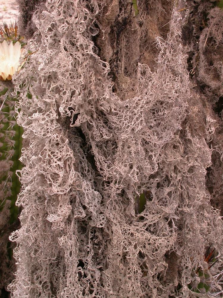 Ingaderia pulcherrima from Chile