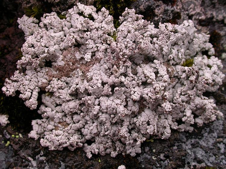 Stereocaulon verruciferum from Chile