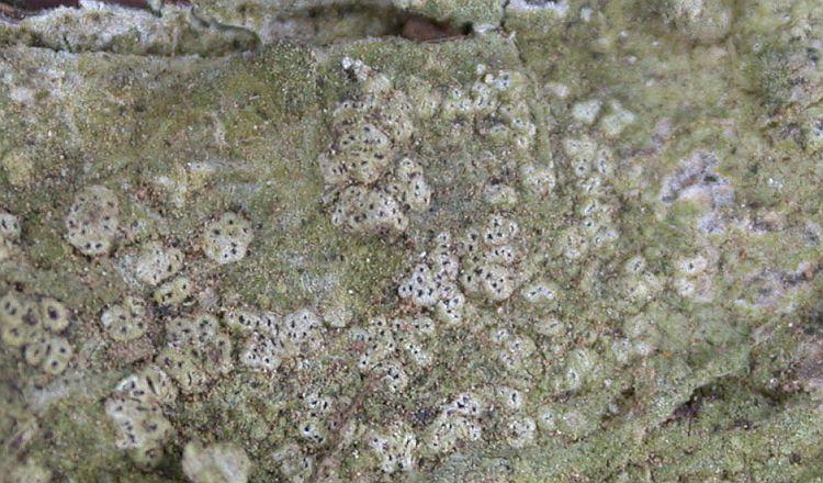 Chiodecton mucorinum from China, Yunnan (ABL)