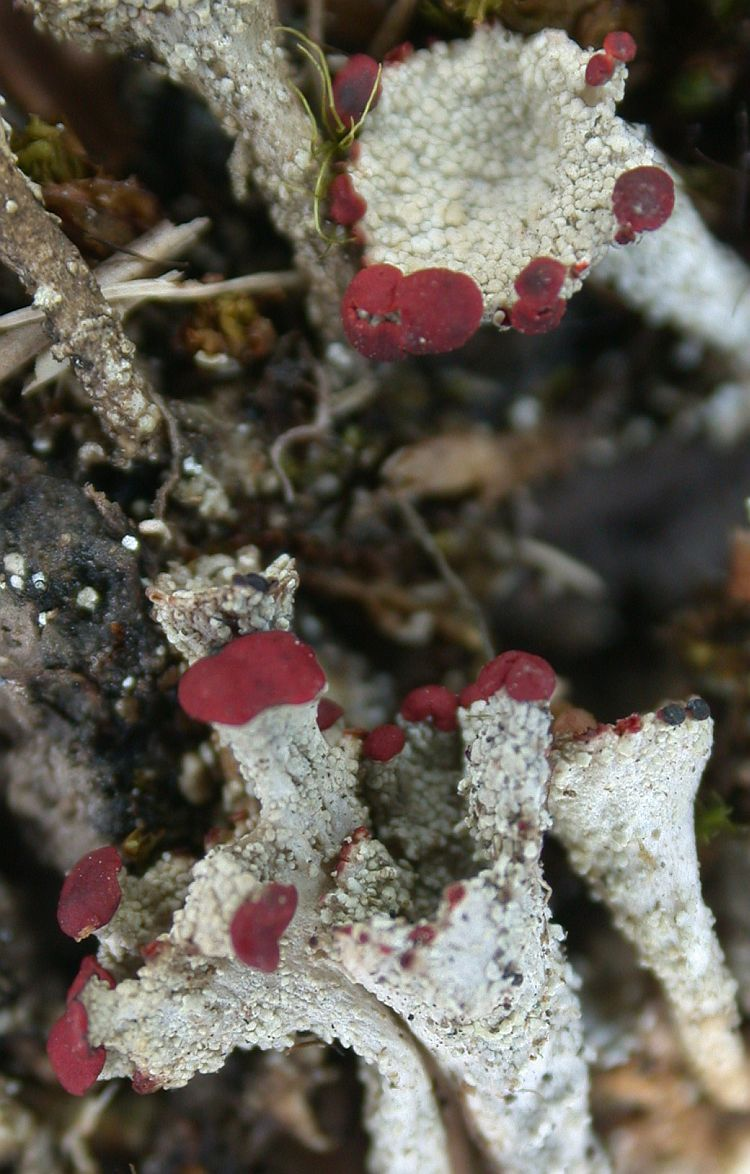 Cladonia coccifera from Taiwan (ABL)