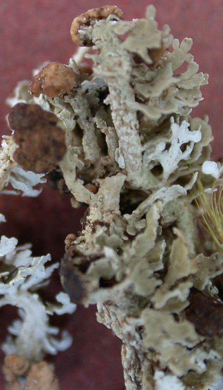Cladonia fenestralis from Taiwan (ABL)
