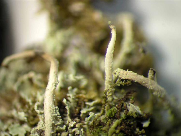 Cladonia subradiata from Singapore Habitus. leg. Sipman 45725. Image width = 7 mm.