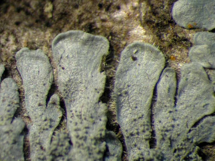 Coccocarpia palmicola from Singapore Habitus. leg. Sipman 46351. Image width = 4 mm.