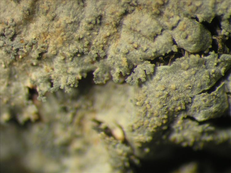 Coccocarpia pellita from Netherlands Antilles, Saba Habitus. leg. B. Buck 50741. Image width = 4 mm.