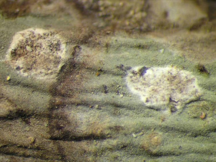 Cryptothecia candida from Singapore Habitus. leg. Sipman 46145. Image width = 4 mm.