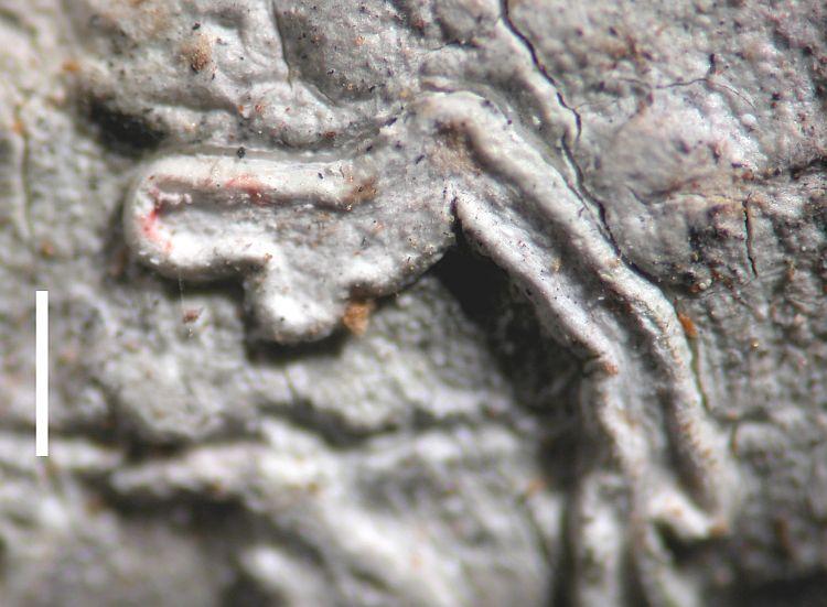 Diorygma hololeucum from Australia