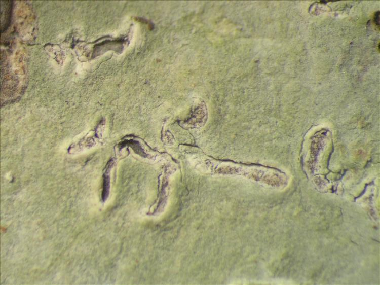 Diorygma hieroglyphicum from Netherlands Antilles, Saba Habitus. leg. Sipman  54680a. Image width = 4 mm.