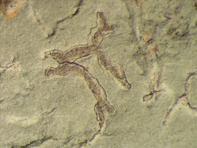 Diorygma hieroglyphicum from Netherlands Antilles, Sint  Eustatius Habitus. leg. Sipman  15159. Image width = 4 mm.