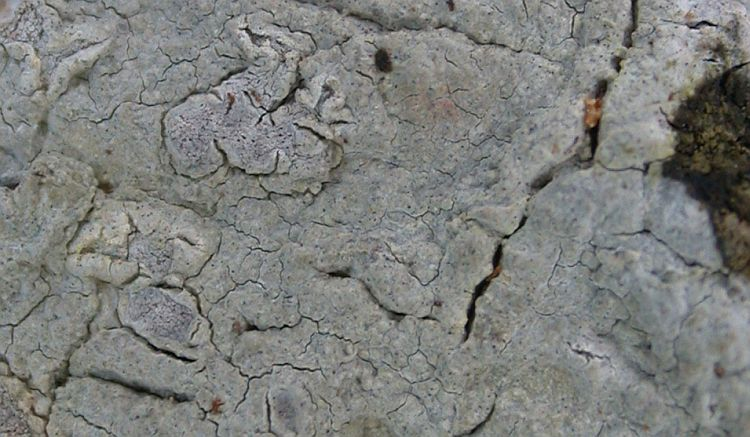 Diorygma hololeucum from Taiwan (ABL)