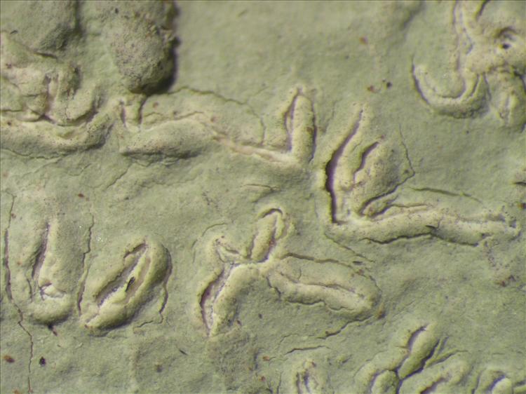 Diorygma poitaei from Netherlands Antilles, Saba Habitus. leg. Sipman  54849. Image width = 4 mm.