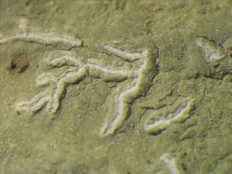 Diorygma poitaei from Netherlands Antilles, Saba Habitus. leg. Sipman  54926. Image width = 4 mm.