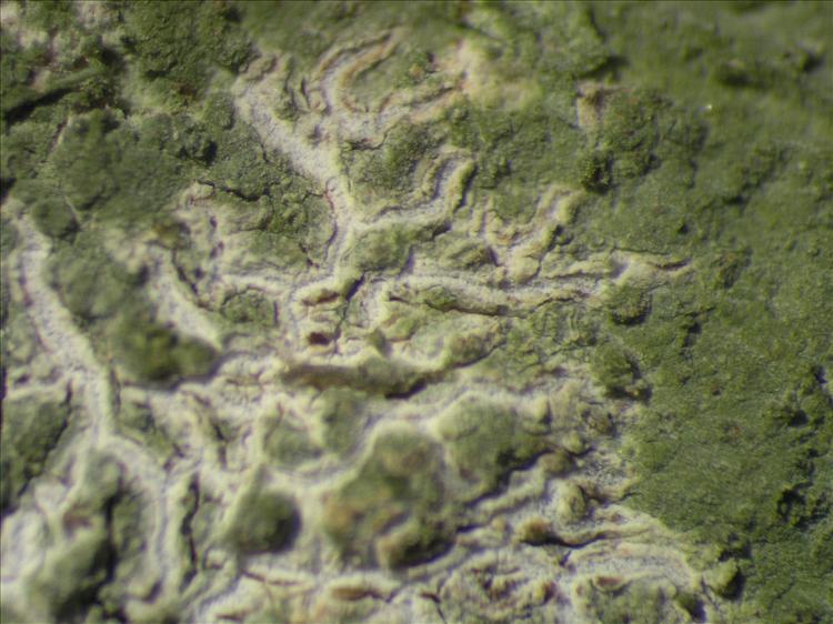 Diorygma poitaei from Netherlands Antilles, Saba Habitus. leg. Sipman  54705. Image width = 4 mm.
