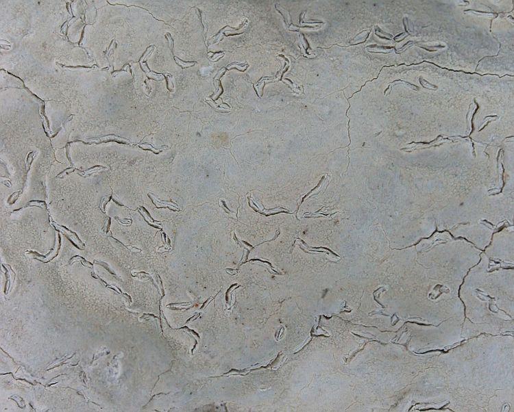Diorygma image