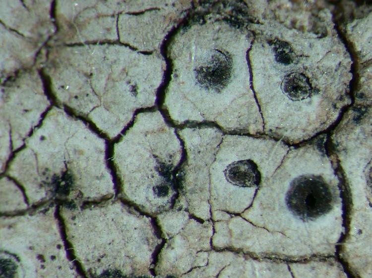 Diploschistes euganeus from NE Pakistan leg. S.Iqbal 668; herb. LAH