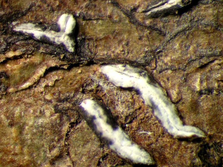 Dyplolabia afzelii from Singapore Habitus. leg. Sipman 45900. Image width = 4 mm.