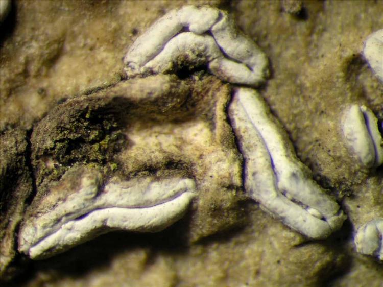 Dyplolabia afzelii from Singapore Habitus. leg. Sipman 45697. Image width = 4 mm.