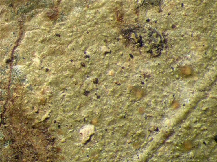 Echinoplaca pellicula from Singapore Habitus. leg. Sipman 46099. Image width = 4 mm.