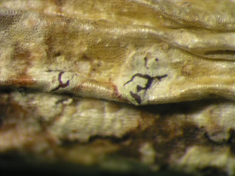 Enterographa anguinella from Netherlands Antilles, Saba Habitus. leg. Sipman  54703a. Image width = 4 mm.