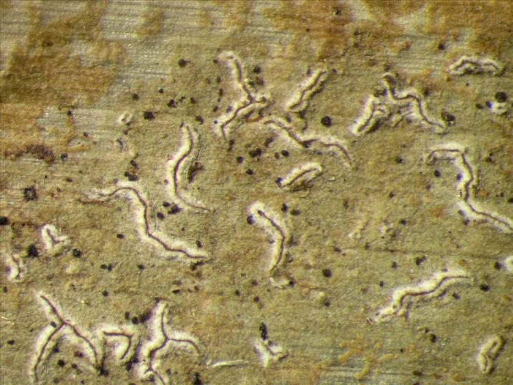 Enterographa angustissima from Singapore Habitus. leg. Sipman 45938. Image width = 4 mm.