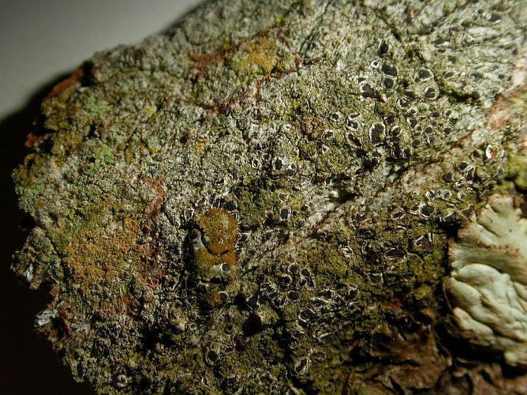 Enterographa mesomela from Vietnam (hb Sparrius)