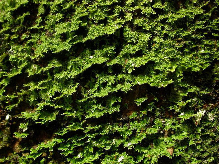 Eschatogonia angustiloba from Peru, Loreto Specimen O-L144698