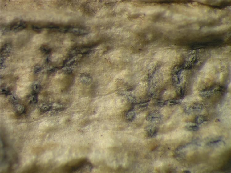 Fissurina comparimuralis from Netherlands Antilles, Saba Habitus. leg. Sipman  54826a. Image width = 4 mm.