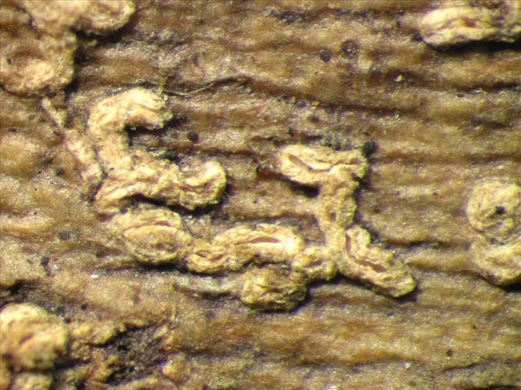 Fissurina dumastii from Singapore Habitus. leg. Sipman 46206. Image width = 4 mm.