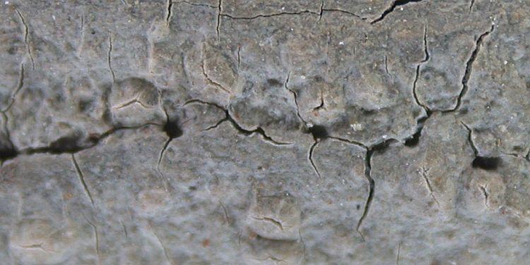 Fissurina dumastii from Taiwan (ABL)