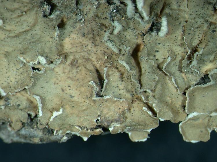 Flavoparmelia soredica from NE Pakistan leg. S.Iqbal 347; herb. LAH