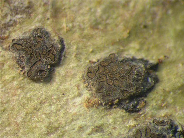 Glyphis cicatricosa from Netherlands Antilles, Saba Habitus. leg. Sipman  54679a. Image width = 4 mm.