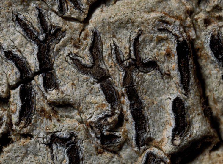 Glyphis montoensis image