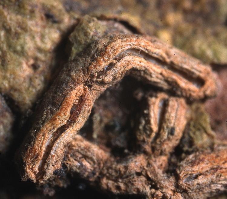 Graphina indita from Philippines Graphis indita var. marivelensis Vain. TUR-V 27223 holotype