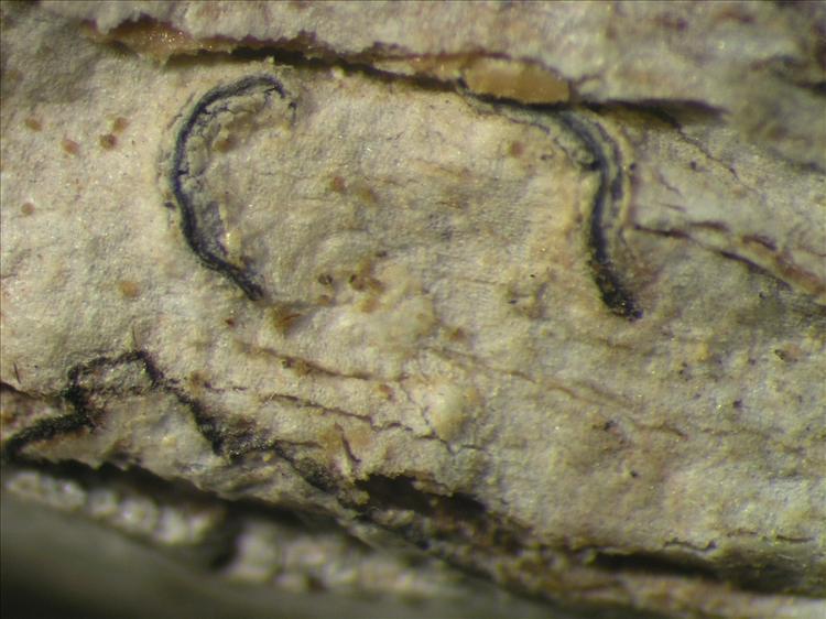 Graphis caesiella from Netherlands Antilles, Saba Habitus. leg. Sipman  54833d. Image width = 4 mm.